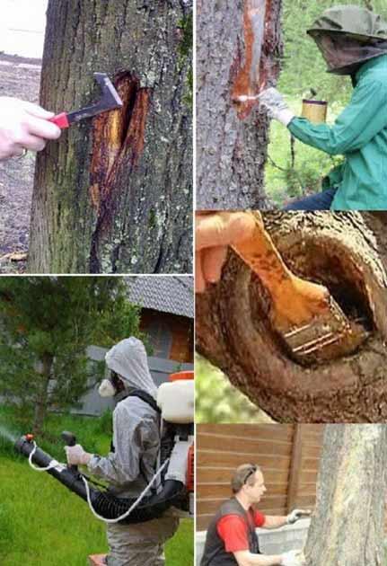 Как вылечить кору плодовых деревьев?