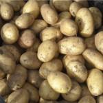 Как вырастить ровные клубни картофеля