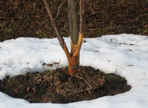 При повреждениях деревьев грызунами