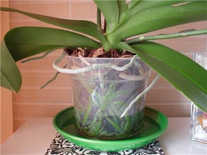 полив орхидеи в поддон