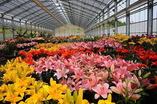Условия выращивания лилий в теплицах