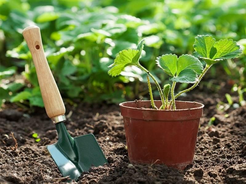 Как вырастить рассаду клубники самому 36