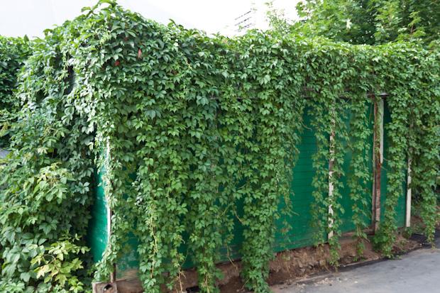 эффект зеленой стены