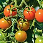 Как повысить урожай томатов