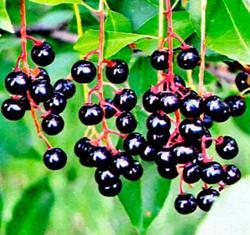 черемуха плоды