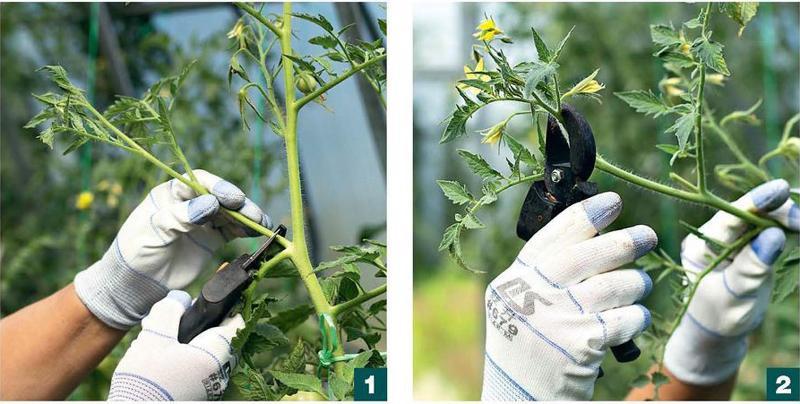 Как правильно формировать томаты в теплице