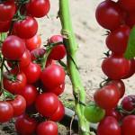 Опыт выращивания томатов сорта черри Ира