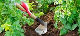 Как правильно окучить картофель: советы опытных огородников