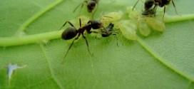 Как прогнать муравьев