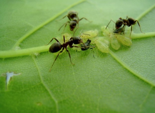 как прогнать муравьев с участка
