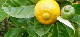 Сладкий лимон