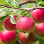 6 простых правил хорошего урожая яблок