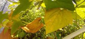 Желтеют листья у огурцов: в чем причина и какие меры нужно принимать?