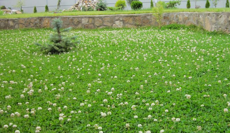 Разнотравье для газона