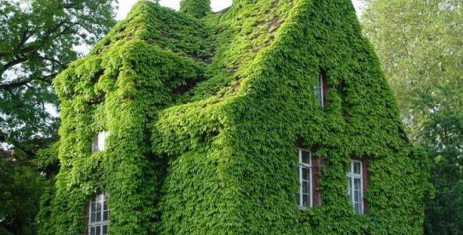 Садовый плющ в ландшафтном дизайне