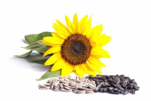 Какая польза от семян подсолнуха