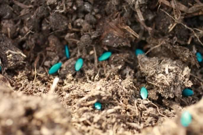 Семена огурца сорта «Амур f1»