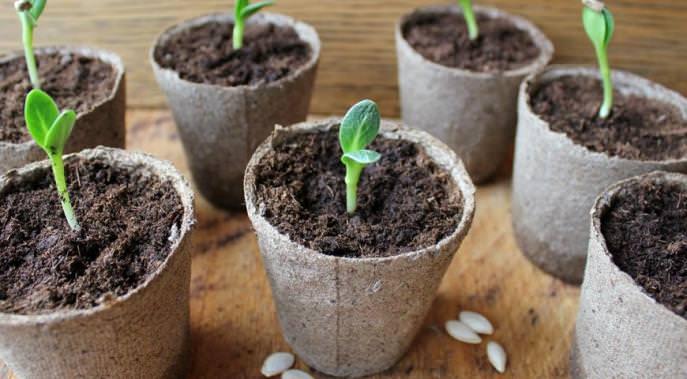 Выращивание рассады огурца «Амур-f1»