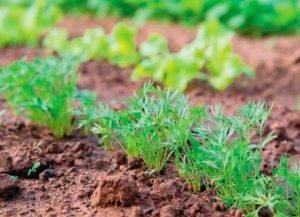 Как посеать под зиму лук-севок и морковь