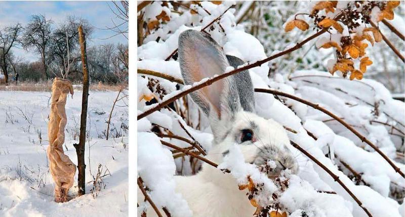 Как защитить свой сад от грызунов зимой