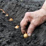 Как произвести осеннюю посадку лука