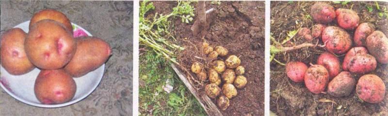 Посадка картофеля – нужно ли резать клубни