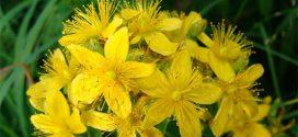 Зверобой (Hypericum): посадка, уход и условия выращивания