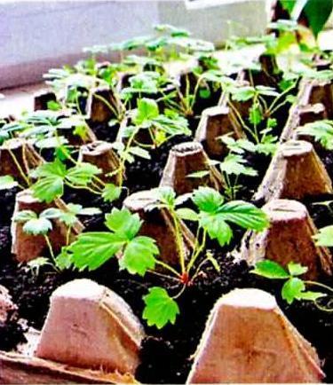 Клубника в лотках из семян