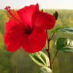 Суданская роза: сажаем дома