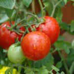 Опыт выращивания рассады томатов