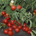 Сорт томатов Моя любовь