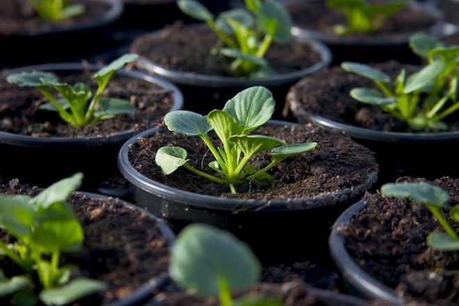 Closeup of growing pansies in a plant nursery