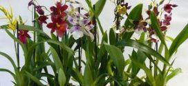 Орхидея камбрия – как выбрать, особенности ухода