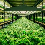 Выращивание зелени в теплице прибыльный бизнес 600x391