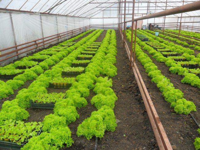 vyrashhivanie-salata-v-teplice