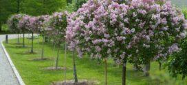 Уникальные декоративные кустарники и деревья – предмет гордости каждого хозяина сада